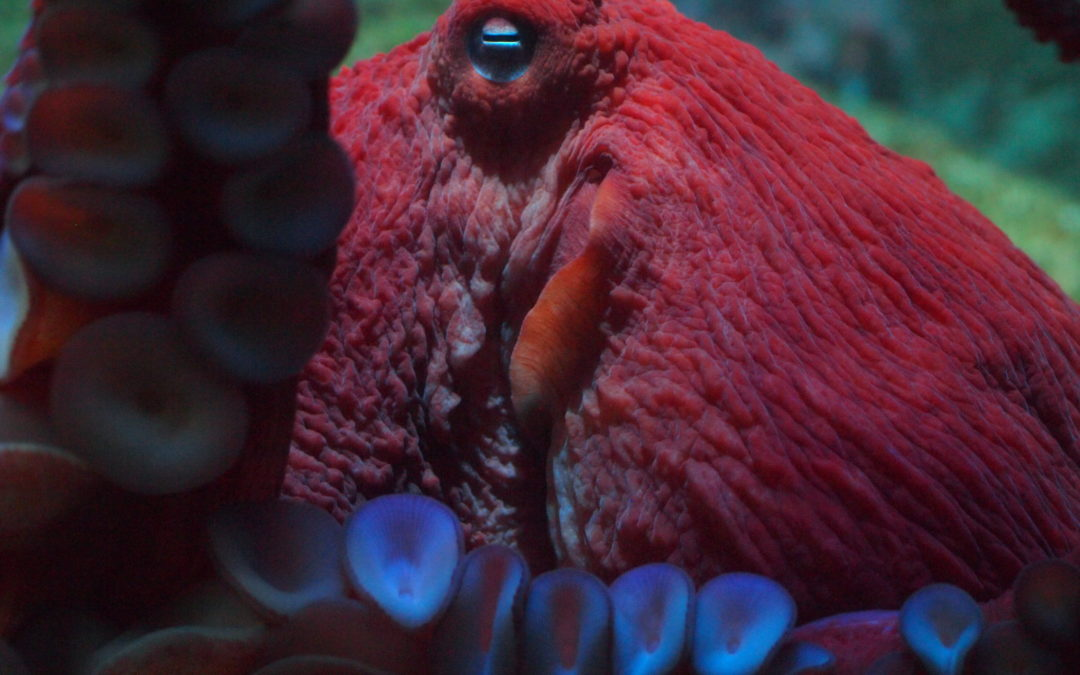 K's Kreature Feature: Giant Pacific octopus